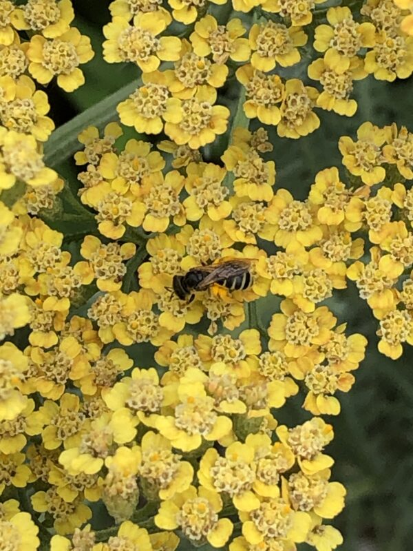 Closeup photo, from above, of bright yellow yarrow flowers with a bee, legs bright yellow with pollen, at the center. Some indistinct greenery shows in background.