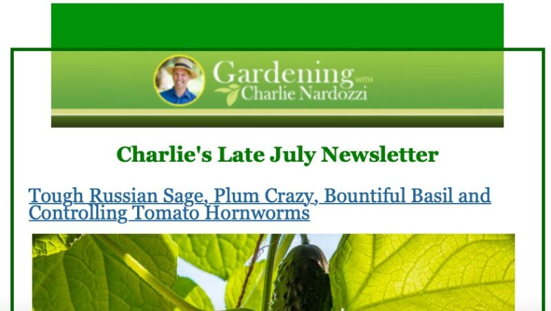"""A screenshot of the top part of Charlie Nardozzi's Late July Newsletter, with a title panel in white font (on green background) reading """"Gardening with Charlie Nardozzi"""" and an inset headshot of Charlie in blue shirt and wearing a panama-style hat. List of subjects under the Late July Newsletter line includes Tough Russian Sage, Plum Crazy, Bountiful Basil and Controlling Tomato Hornworms. Under that list is the top of a photo of a cucumber handing from its vine, surrounded by backlit leaves."""