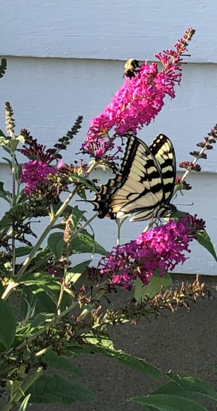 """A tiger swallowtail butterfly (yellow and black striped wings edged with bars of black outlining one strip of dark blue squares and one of orange-yellow squares, with a black """"tail"""" at back of wings; body is light yellow with black stripes) perched on top of a bright magenta frond of butterfly-bush flowers. A bumblebee is busy at work on a frond above the butterfly's. Background is gray cement at bottom, white clapboard at top."""
