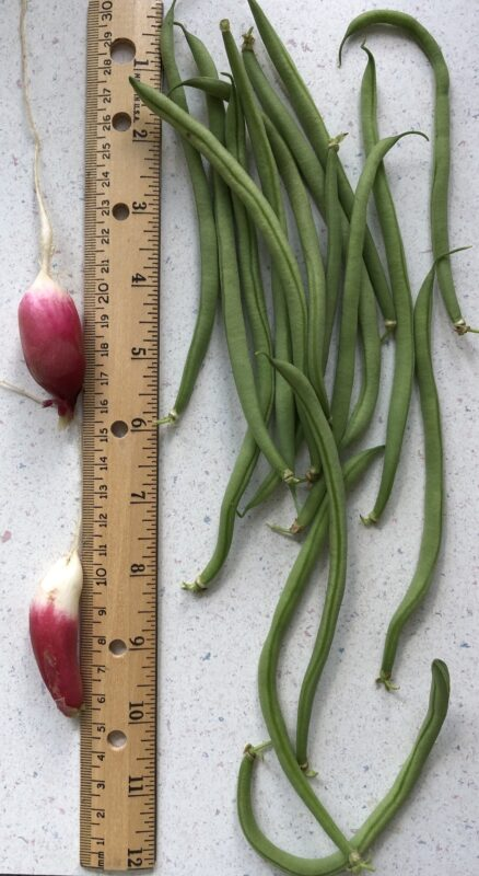 Two French breakfast radishes and a handful's worth of thin haricot green beans, on either side of a 12-inch wooden ruler, showing that the beans are about 6 inches long and the radishes about two inches. The radishes are vaguely cylindrical in shape, with deep pink tops (here, inverted to bottom of the picture) and a small strip of white towards the root end.