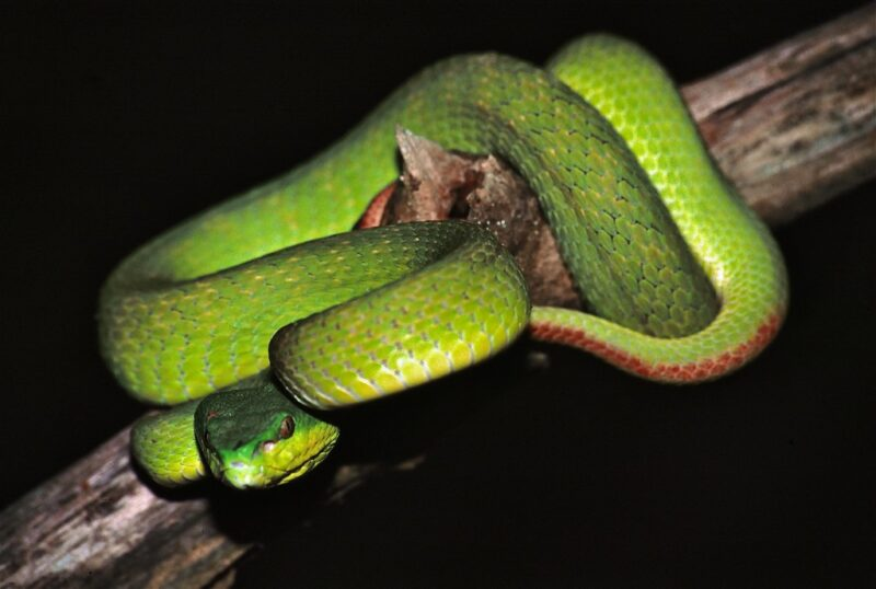 Bright green viper coiled on top of a branch; branch is bare, brown, and about twice the thickness of the viper's body. Viper's tail has a strip of red; the top of the head is a slightly deeper green than the body, which verges on chartreuse