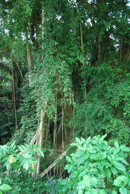Thick Balinese jungly growth, with vines climbing up tall trees, and some large-leafed plants in foreground that look like vastly overgrown versions of house plants; dominant color is green in shades ranging from bright medium to shadowy dark green