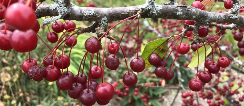 tiny bright red crabapples (looking like berries) on a dark gray-brown branch; indistinct green background